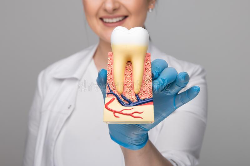 Tooth model for education in laboratory. Dentist holds in his hand tooth model for education in laboratory stock photo