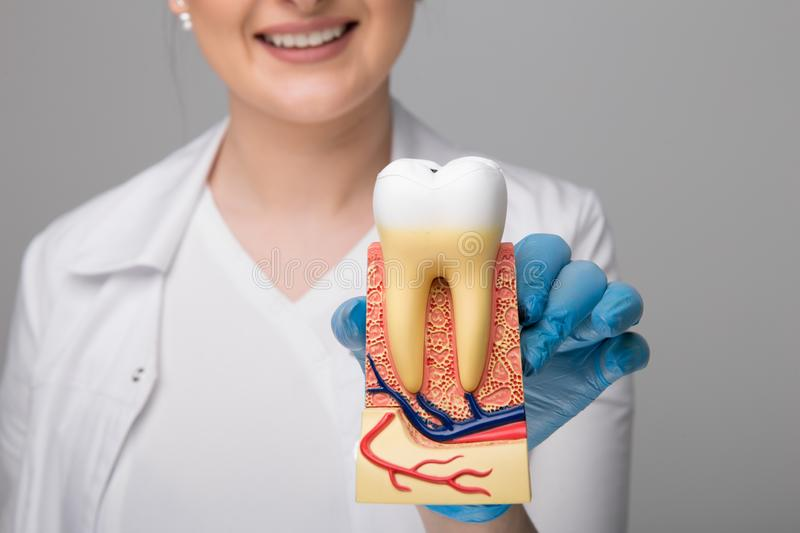Tooth model for education in laboratory. Dentist holds in his hand tooth model for education in laboratory royalty free stock photography