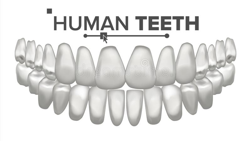 Tooth Mouth Anatomy Vector. Human Teeth. Healthy White Teeth. Dentistry Medical Concept. 3D Realistic Isolated. Tooth Mouth Anatomy Vector. Human Teeth. Healthy royalty free illustration