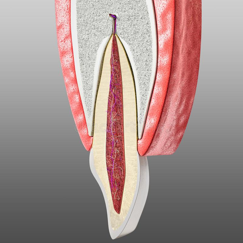 Tooth and periodontium anatomical structure. Sectional human central incisor showing the structures of the tooth ans periodontium stock illustration