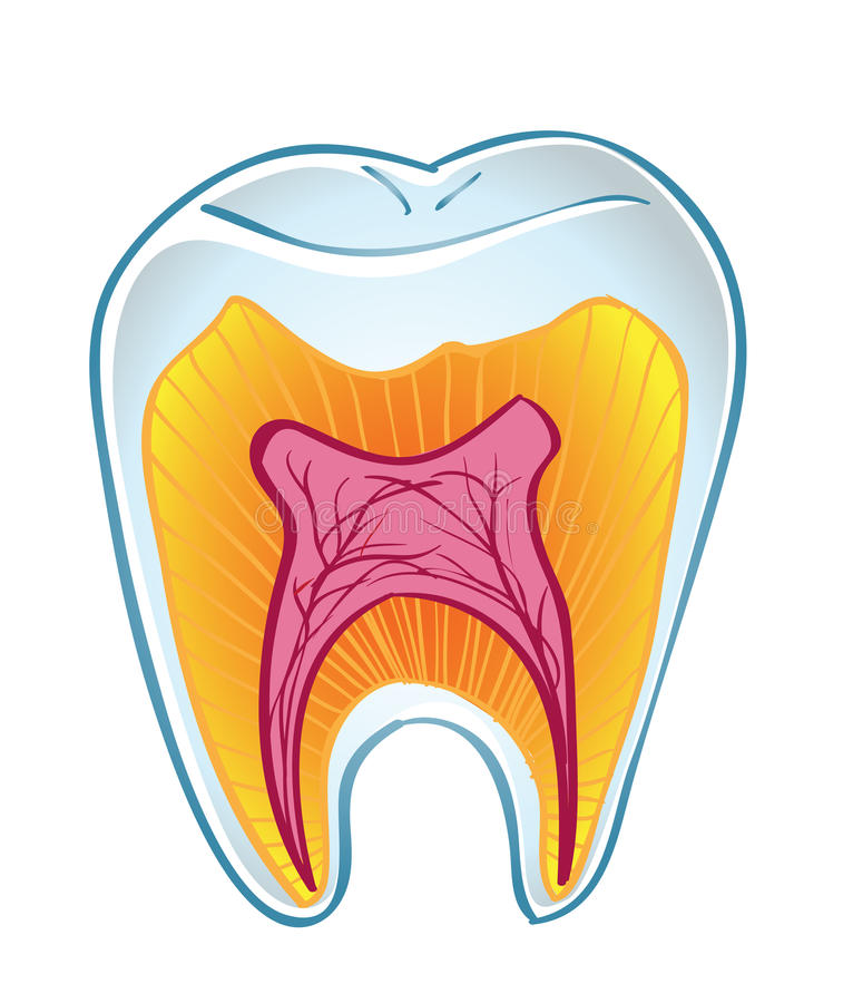 Tooth on section royalty free illustration