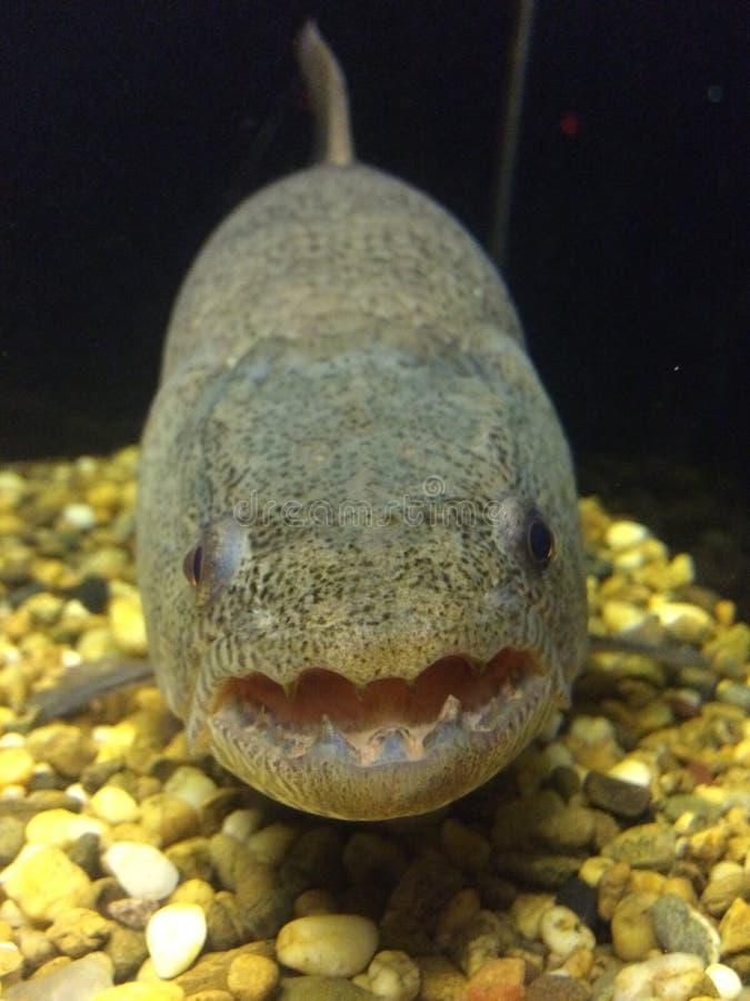 Toothed рыбы угря мурены стоковые фотографии rf