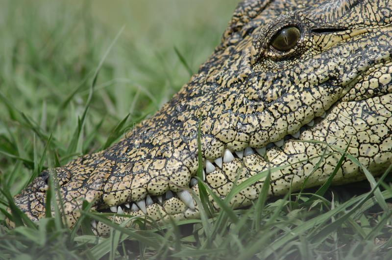 Download Toothy Grin stock photo. Image of teeth, crocodile, fatal - 25588