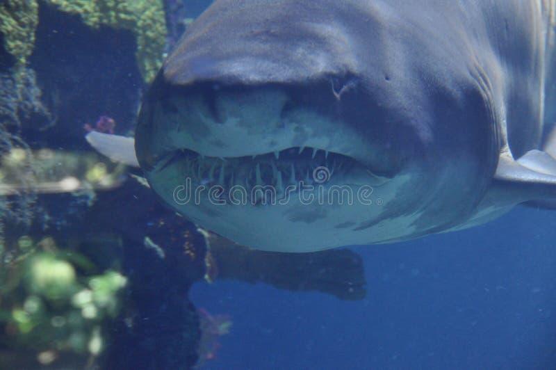 Toothy haaien royalty-vrije stock foto