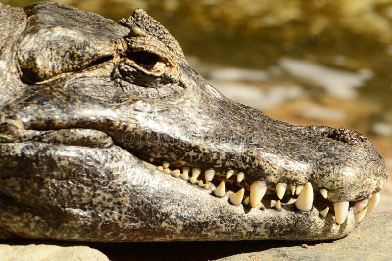 Toothy krokodil stock fotografie