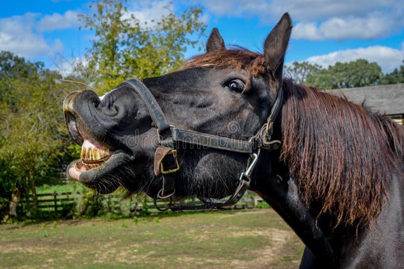 Toothy Paard die Zijn Vuile Tanden tonen stock foto's