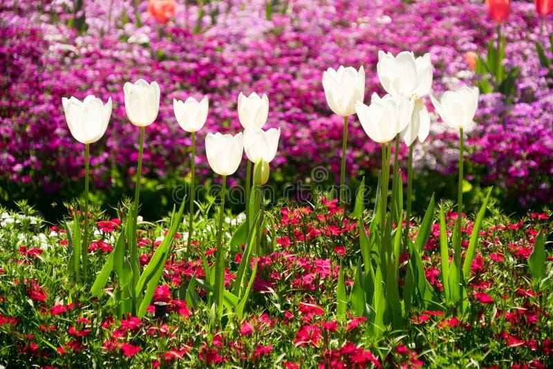 Toowoomba blommafestival Tulip Flowers royaltyfri foto