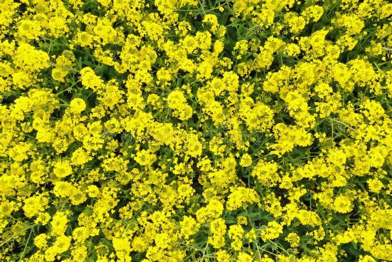 Top aéreo abajo de la opinión sobre campo amarillo de la rabina floreciente con bueno para las texturas imágenes de archivo libres de regalías