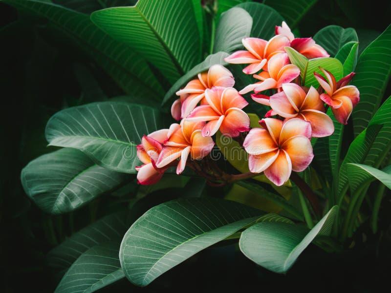 Top-Ansicht Schöne farbenfrohe Plumeria Blumen Frangipani, Plumeria, Tempelbaum, Graveyard Tree, Pagoda dekoriert in der lizenzfreie stockfotos