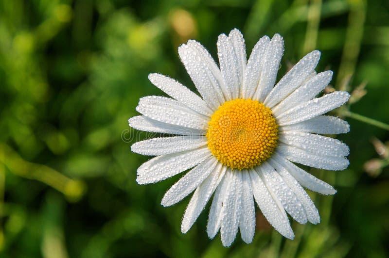Top besk?dar Slut upp, makro Blomma tusenskönan i ett grönt fält Kronblad som täckas med små droppar av morgondagg kopiera avst?n arkivfoto