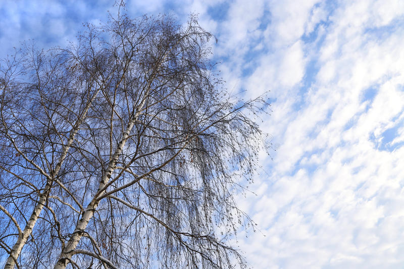 Top of birches against a blue sky with white clouds stock image