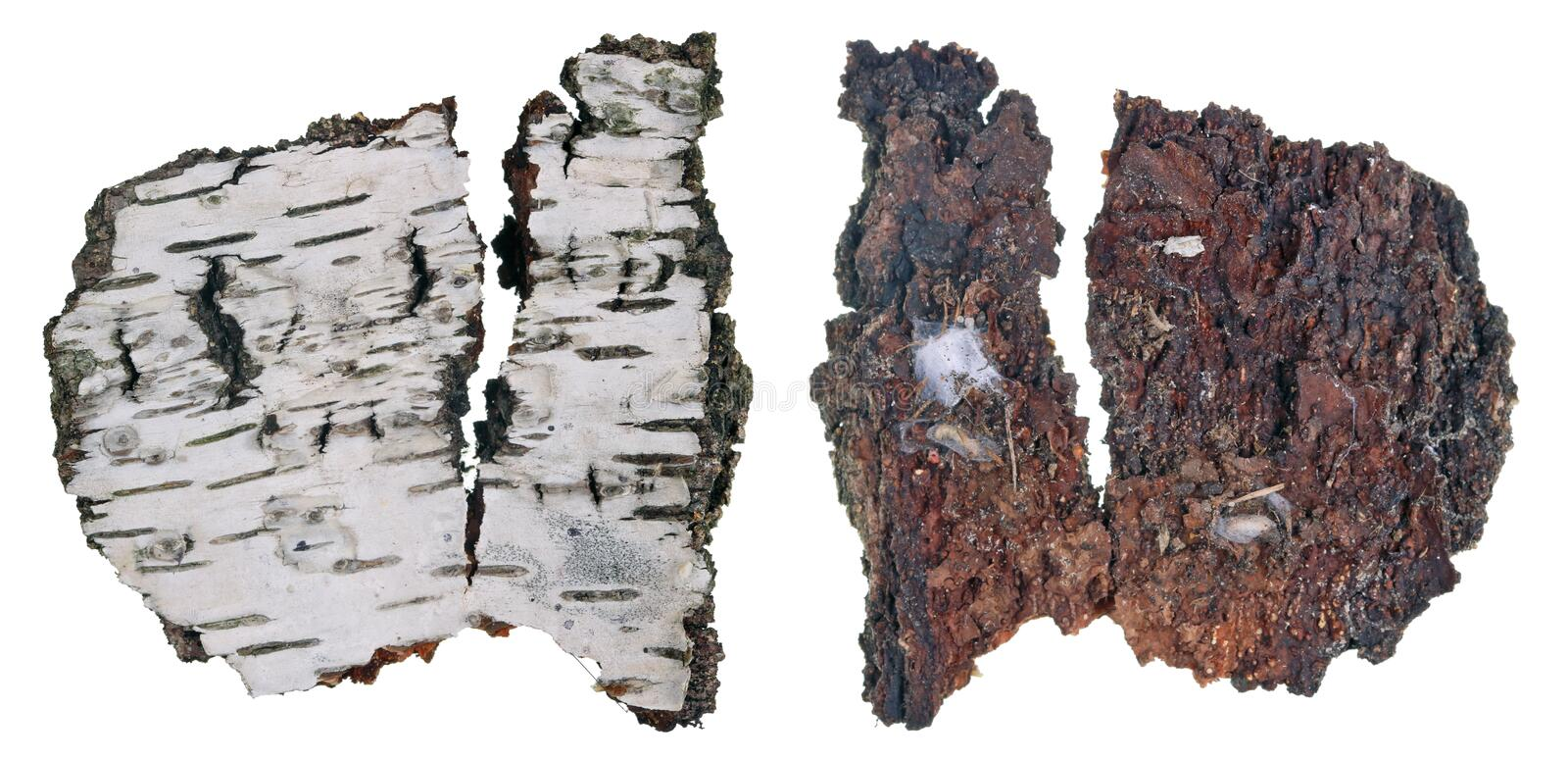 The top and bottom view of a fragment of birch tree rotten bark with a colony of growing forest lichen. Isolated royalty free stock photography