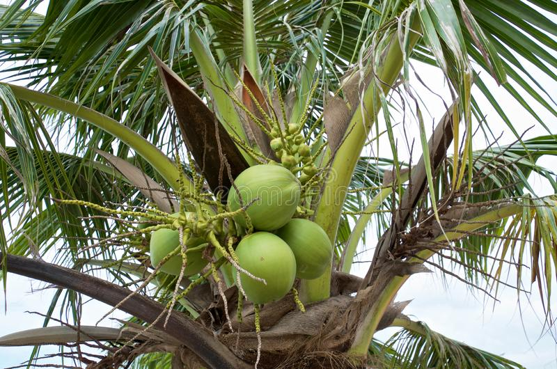 Top of coconut palm with a bunch of green coconuts stock photos