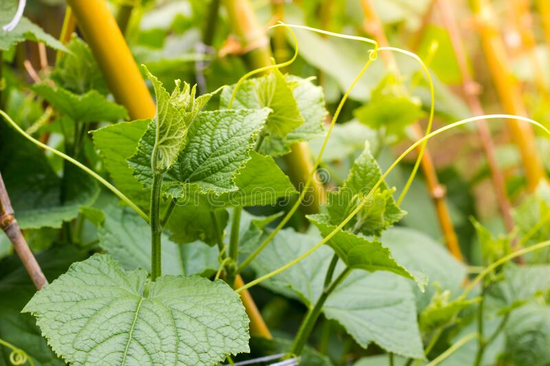 Top cucumber sprout with young leaves and antennae. In garden stock photo