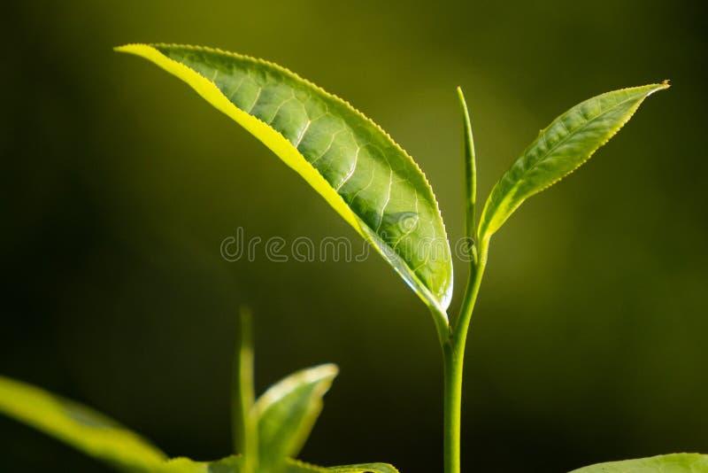Top de hojas de té verdes en una plantación de té imagen de archivo libre de regalías