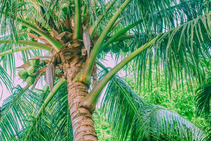Top de una palmera vieja imagenes de archivo