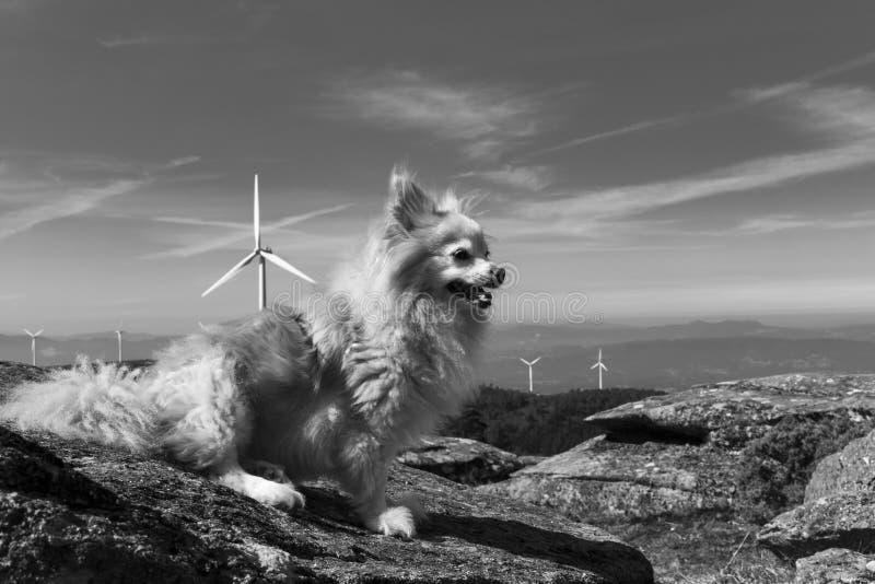 Top del mundo con el perro de Pomerania del perro imagenes de archivo