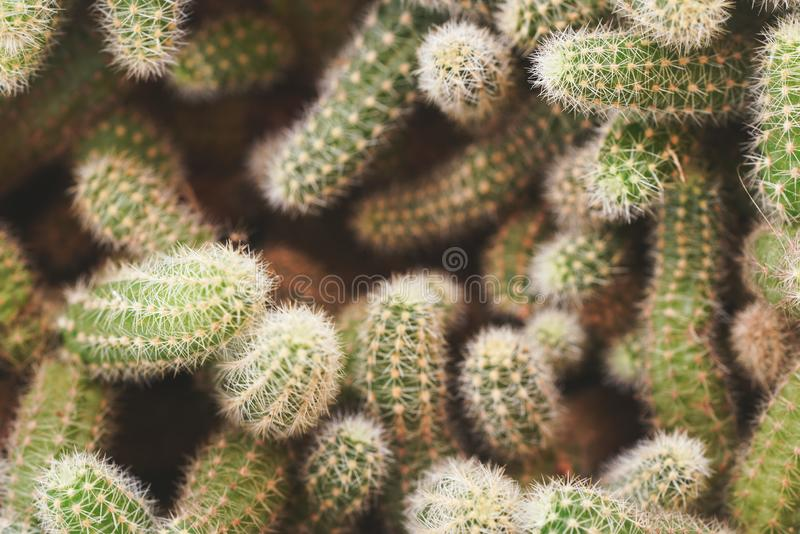 Top down view, many cactus plants tangled together, shallow depth of field photo, only few spikes in focus, abstract royalty free stock photography