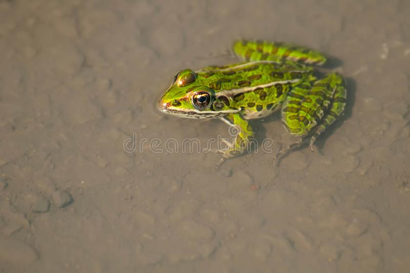 Northern Leopard Frog - Lithobates pipiens. Top down view of a Northern Leopard Frog in a shallow puddle with its head out of the water. Tommy Thompson Park stock image