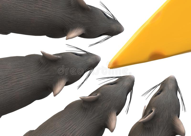 Top down view of several rats sniffing at a wedge of yellow cheese stock photos