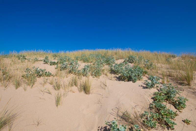 Top of dune with plants sea holly and beachgrass. Top of sand dune with plants sea holly or seaside Eryngo Eryngium Maritimum and beachgrass Ammophila Arenaria stock photography