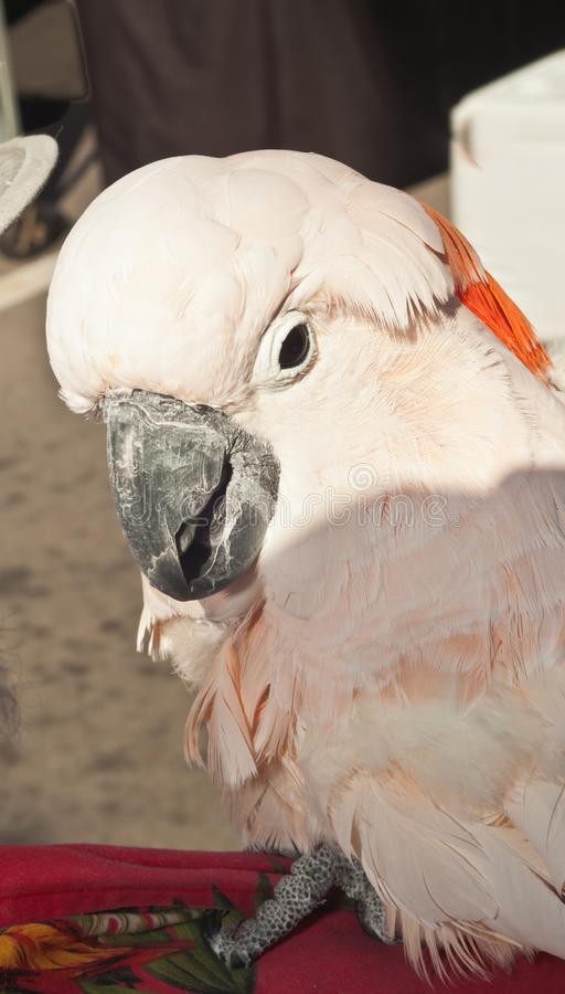 Rescued white, parrot at topical,farmers market royalty free stock photography