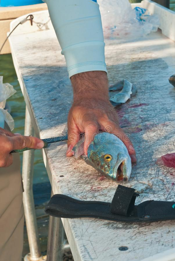 Fisherman filleting sea trout fish at a tropical marina cleaning station. Top, front view, medium distance of the hands of a fisherman, filleting a sea trout stock photo