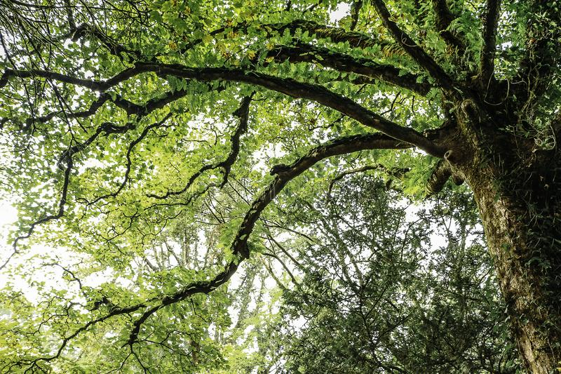Top of a green tree seen from below royalty free stock photos