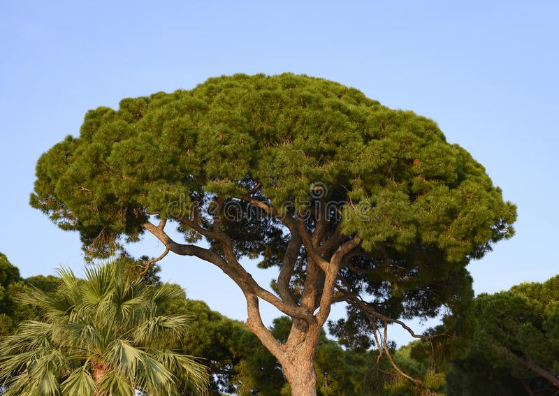 Top of an Italian stone pine in the Juan Les Pins pine forest in Antibes, France. royalty free stock photography
