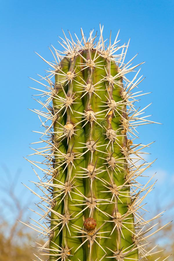 Free Top Of Cactus Plant With Many Thorny Spines Stock Image - 166753741