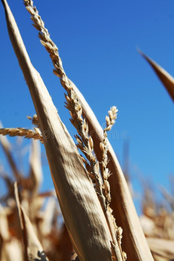 Free Top Of The Golden Corn Husk Royalty Free Stock Photo - 44201285