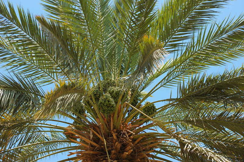 Download Top of palm stock image. Image of nature, date, tree - 14872553