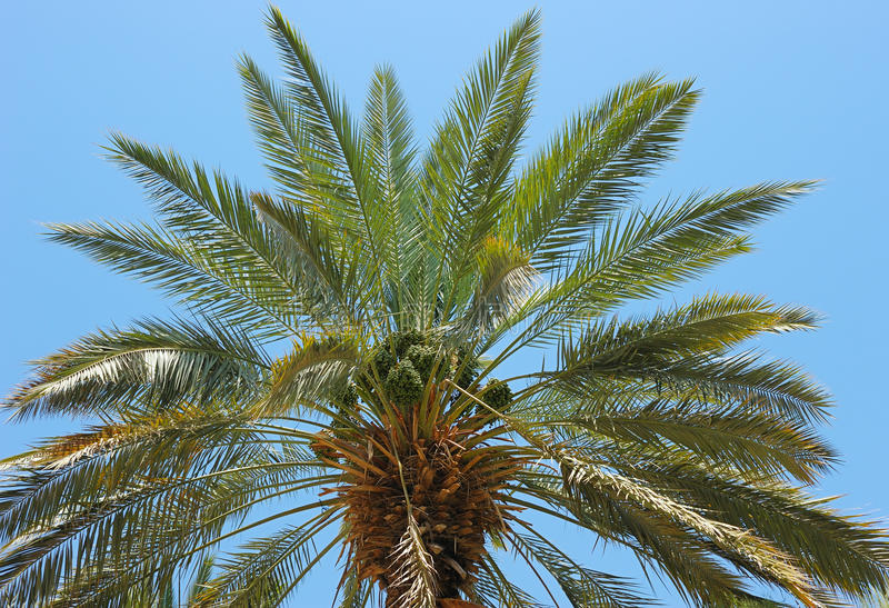 Top Of Palm Royalty Free Stock Image