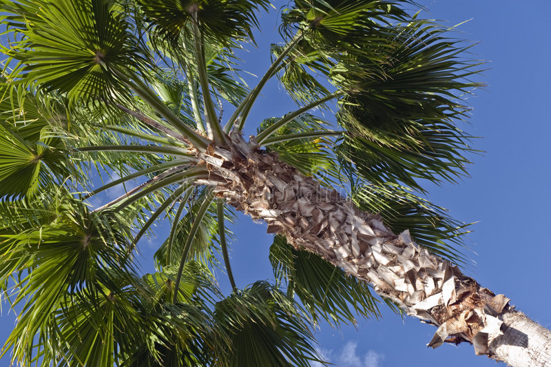 Download Top of palm tree stock photo. Image of green, blue, upwards - 4919198