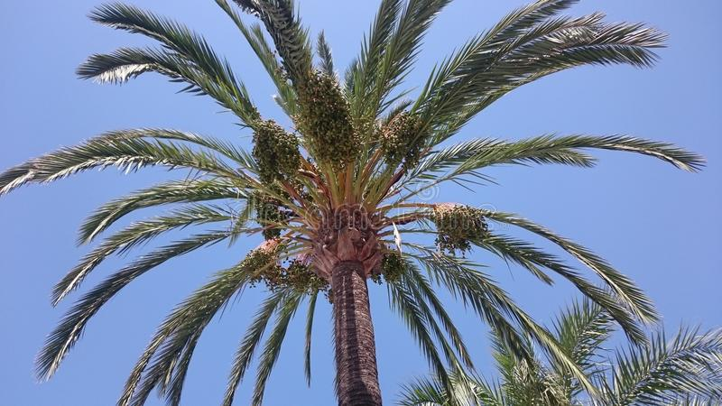 Top of the palm tree Spain. Clear skies stock image