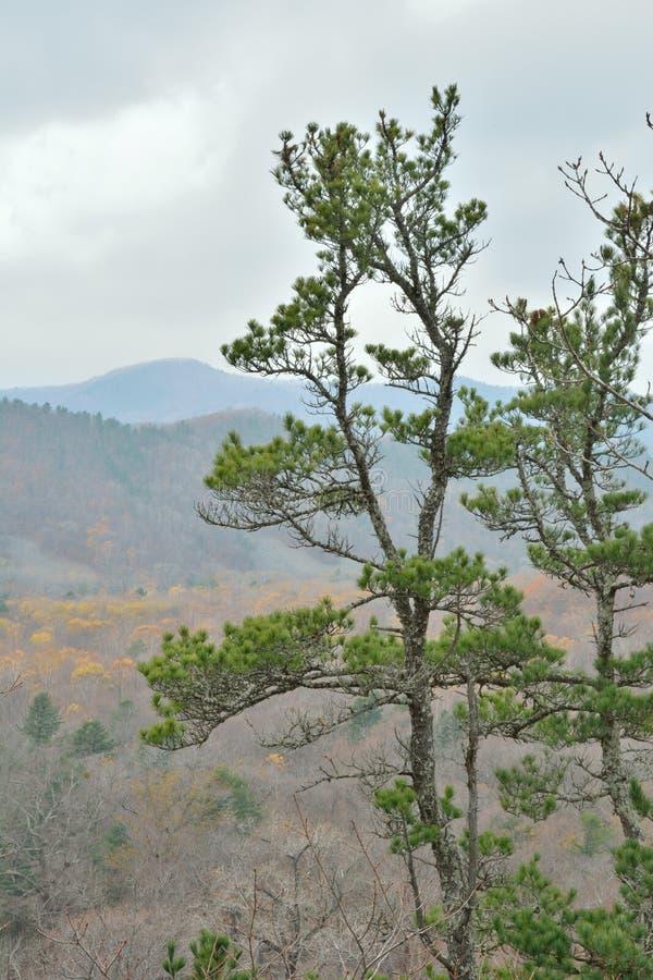 Top of pine. The tree-top of cedar pine Pinus koraiensis royalty free stock photography