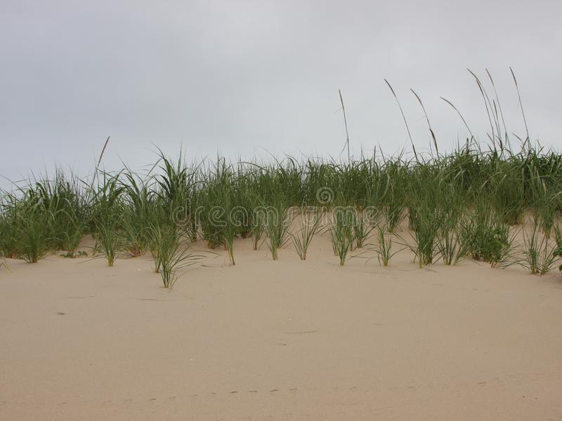 Top of Sand Dune with Wild Beachgrass. Top of Sand Dune at West Coast of Denmark with Wild Rye and Beachgrass stock photos