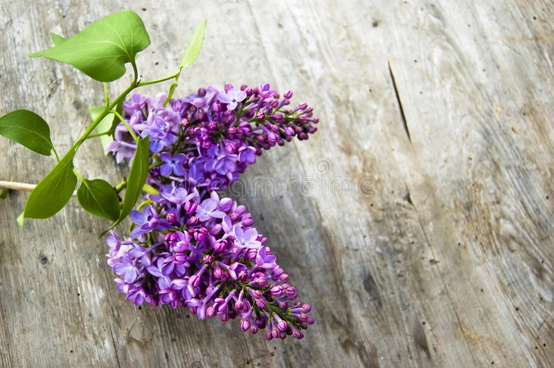 Top shot, close up of fresh purple lilac flower with green leaves, syringe on wooden, rustic table background, selective focus, royalty free stock photography