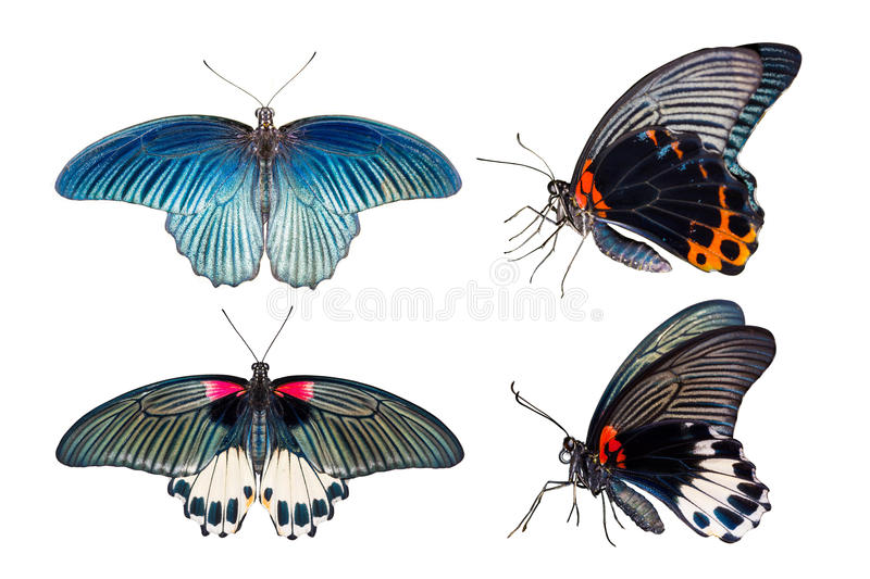 Top and side view of Great mormon Butterfly. On white background, Male and Female stock photo
