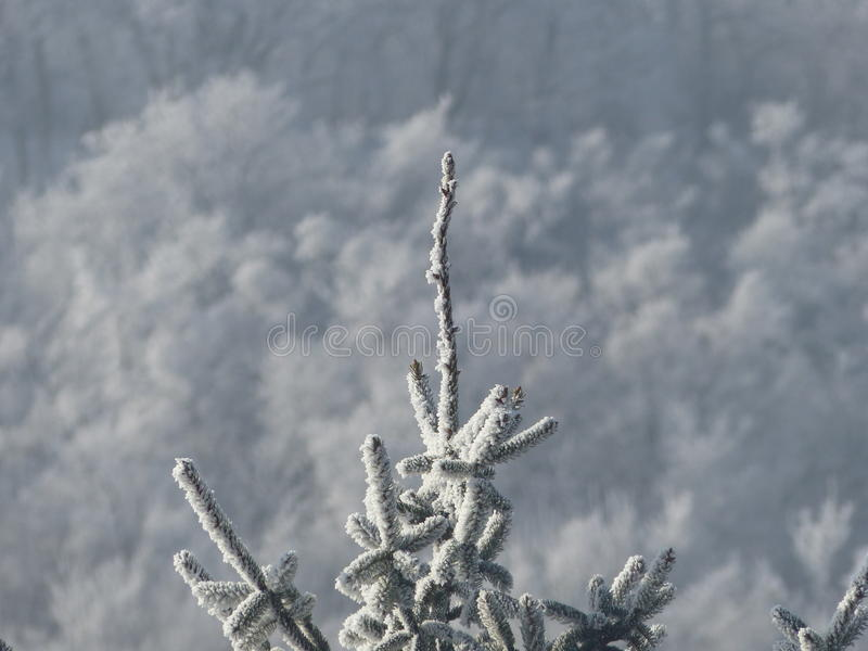 Top of spruce tree. Shot with a Lumix DMC-FZ200 stock image