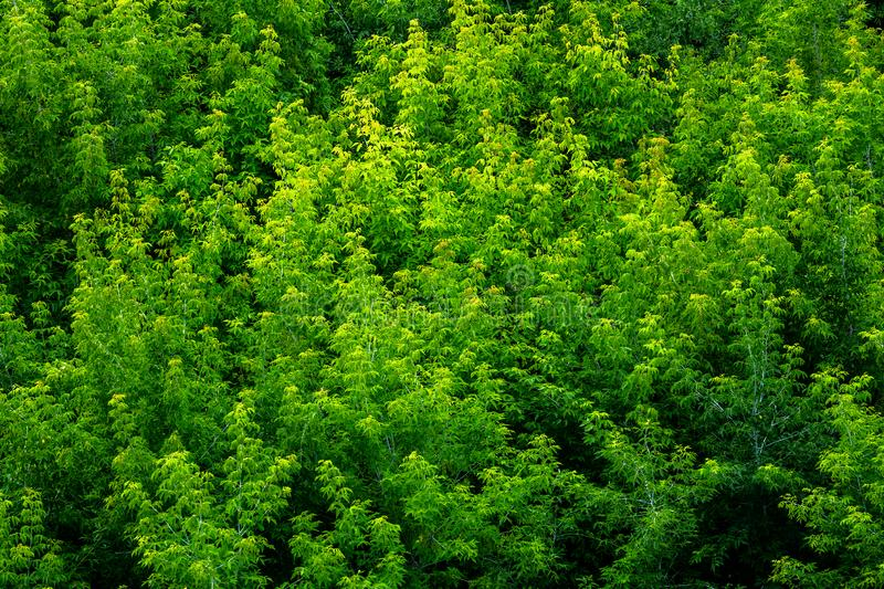 Top of summer green ash-tree forest solid foliage pattern background royalty free stock photo