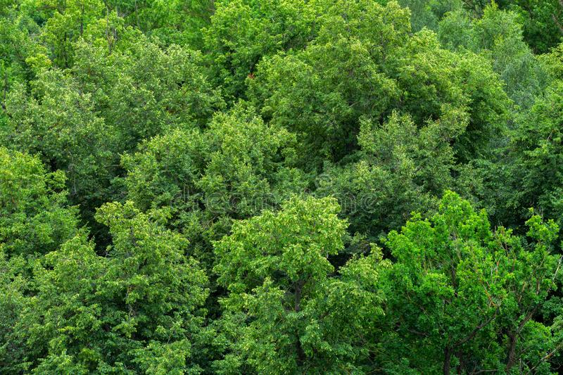 Top of summer green linden forest solid foliage pattern background royalty free stock photo