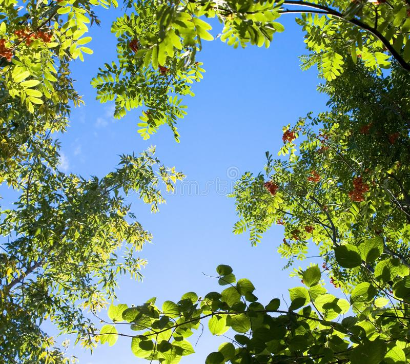Top tree branches on the blue sky stock image