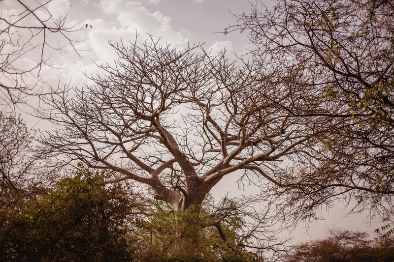 Top of tree on the sky on background. Wild life in Safari. Baobab and bush jungles in Senegal, Africa. Bandia Reserve. Hot, dry. Climate stock photography