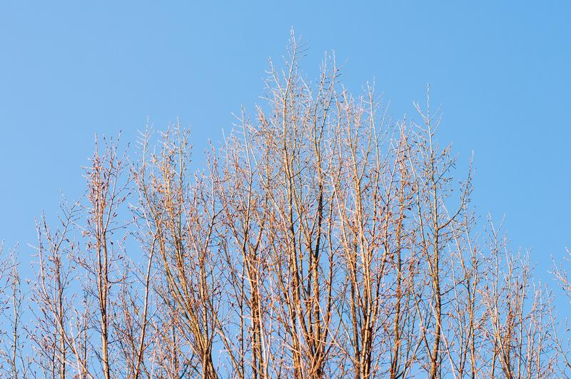 Top Vertical Trees Branches and Blue Sky. With golden light royalty free stock photos