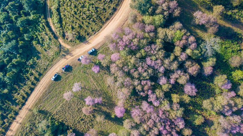 Pink sakura Flower or Wild Himalayan Cherry on mountain. Top view aerial from drone, Pink sakura Flower or Wild Himalayan Cherry on mountain, Unseen Thailand at royalty free stock images