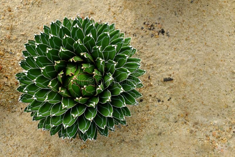 Top view of Agave victoria-reginae in a botanic garden. Top view of Agave Victoria-Reginae, beautiful plant and details in a botanic garden royalty free stock photo