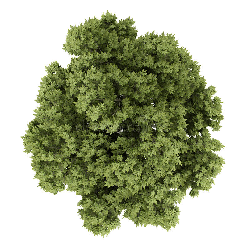 Top view of austrian oak tree isolated on white background. 3d illustration vector illustration