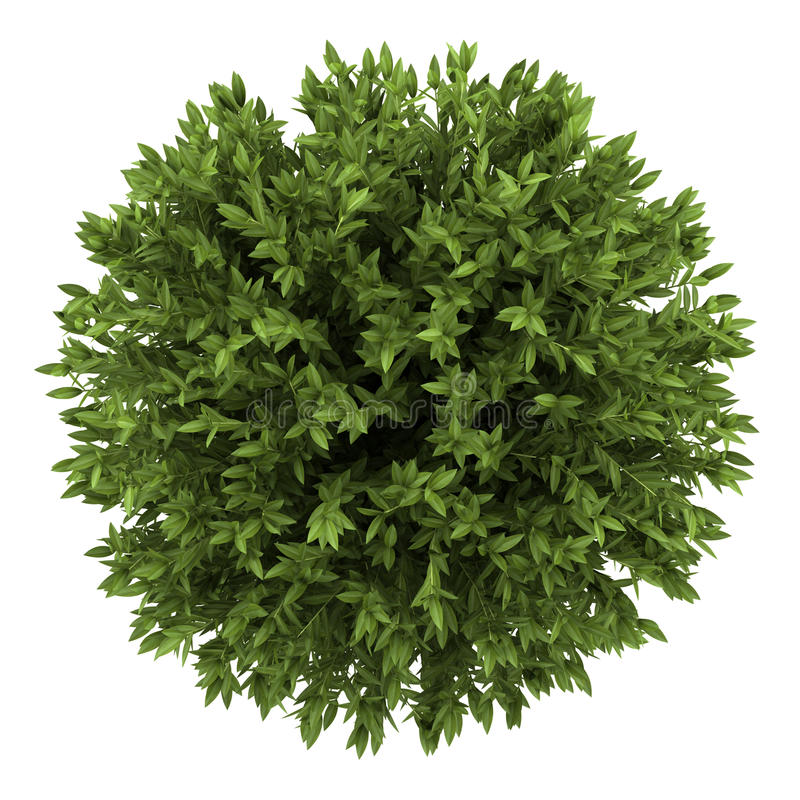 Download Top View Of Bay Laurel Bush Isolated On White Stock Illustration - Illustration of green, plant: 25424953