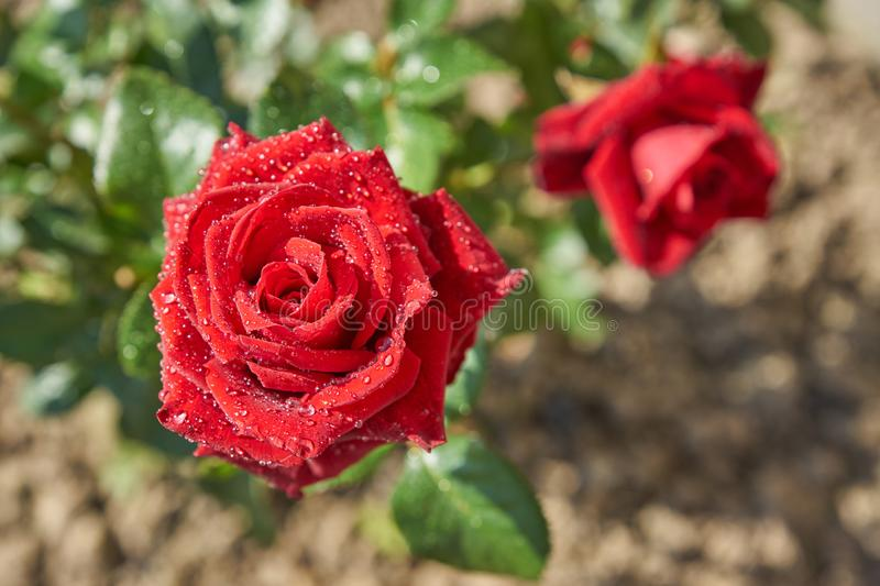 Top view of beautiful blooming red rose bush in the garden. Petals with rain drops shining on the sun stock photography